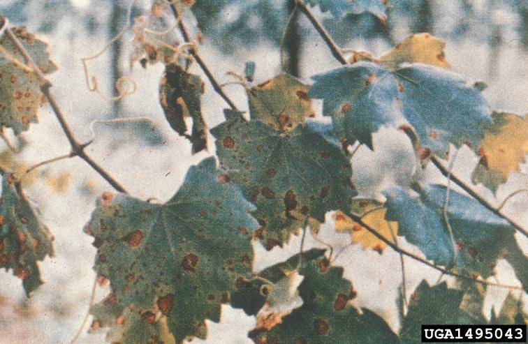 Black Rot on Grape Leaves