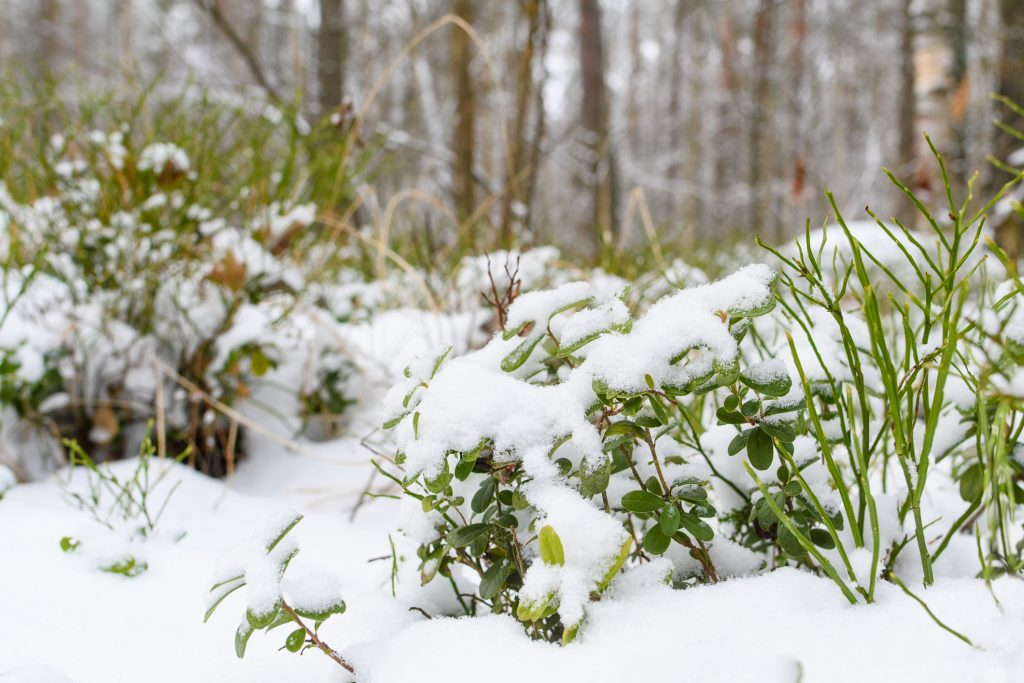 Blueberry bushes in the winter forest. Green leaves of blueberries under the snow on a forest background. Selective focusing on nearby bushes.