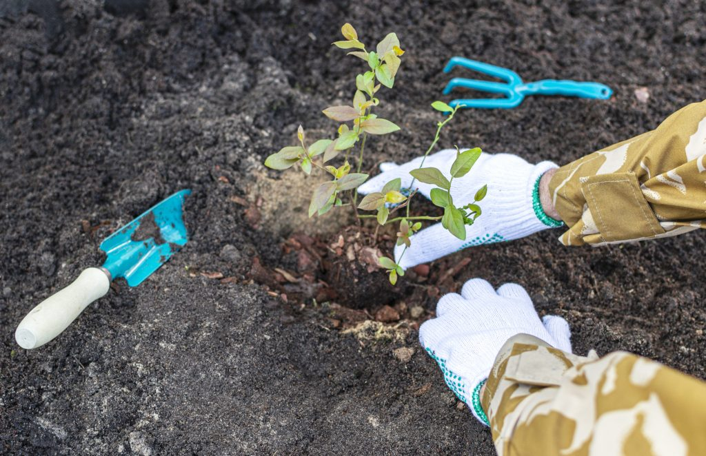 Persons hands in working gloves are planting blueberry seedling in the soil at the garden. Gardening tools (shovel and rake) are lying on the ground