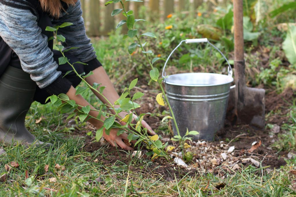 gardener caring for a young bush of blueberries in the garden