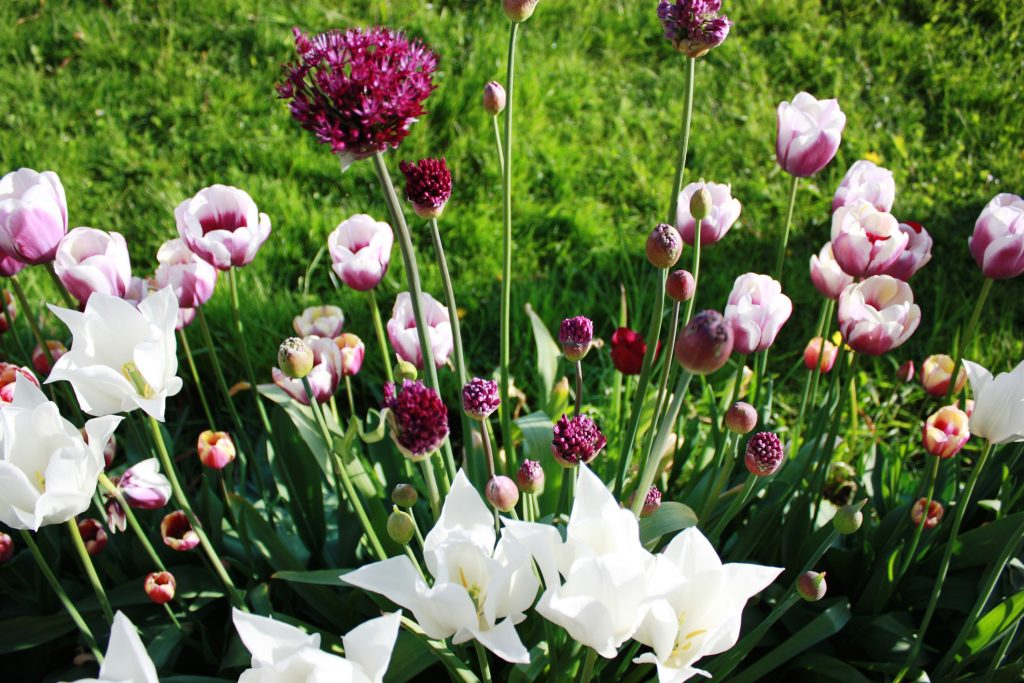 Tulips, Allium Flower, purple and white, green meadow in the background, spring