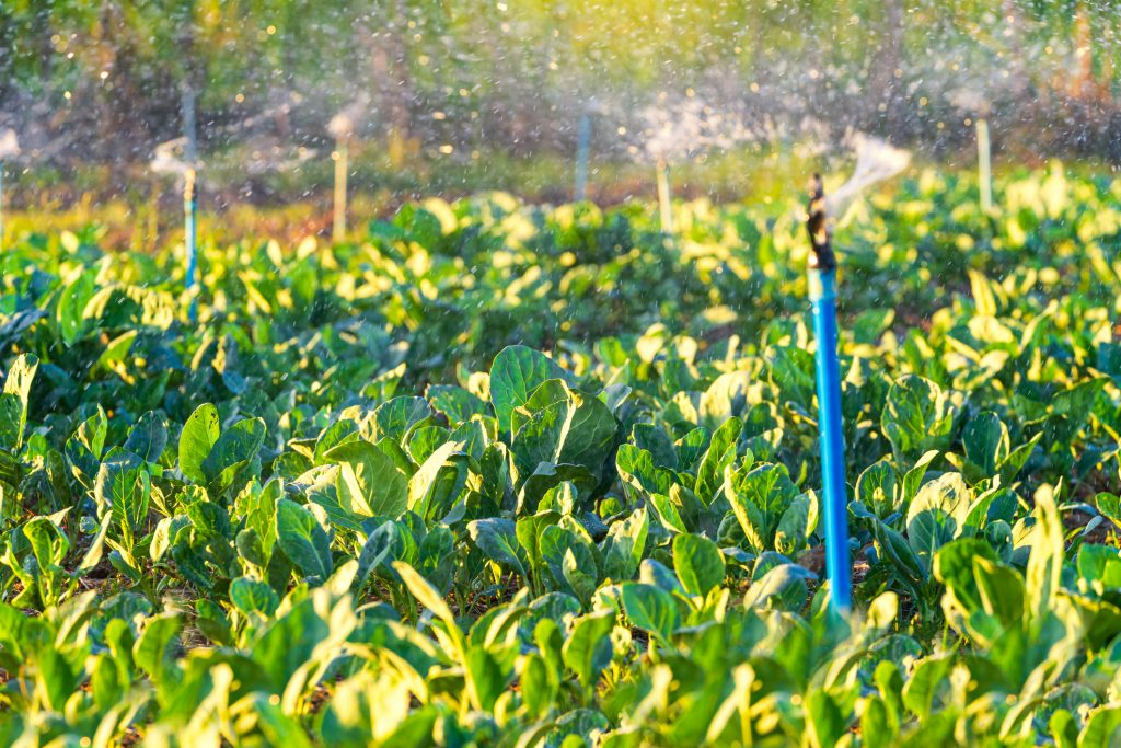 Morning light with organic kale on a farm with automatic watering system.