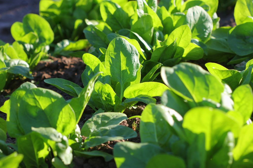 Fresh organic leaves of spinach in the garden .