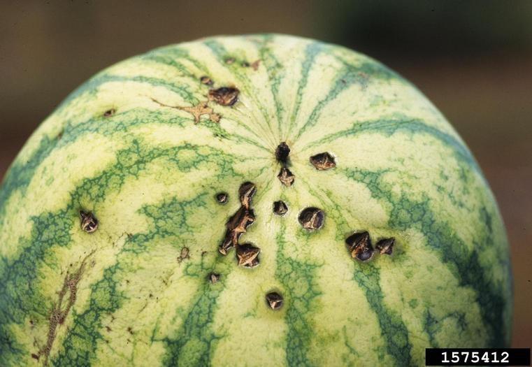 Watermelon with Anthracnose disease