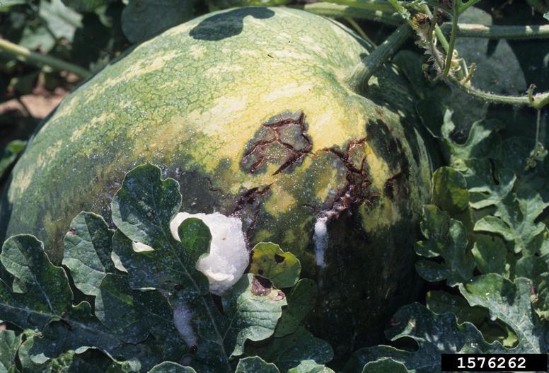 Bacterial fruit blotch on a watermelon