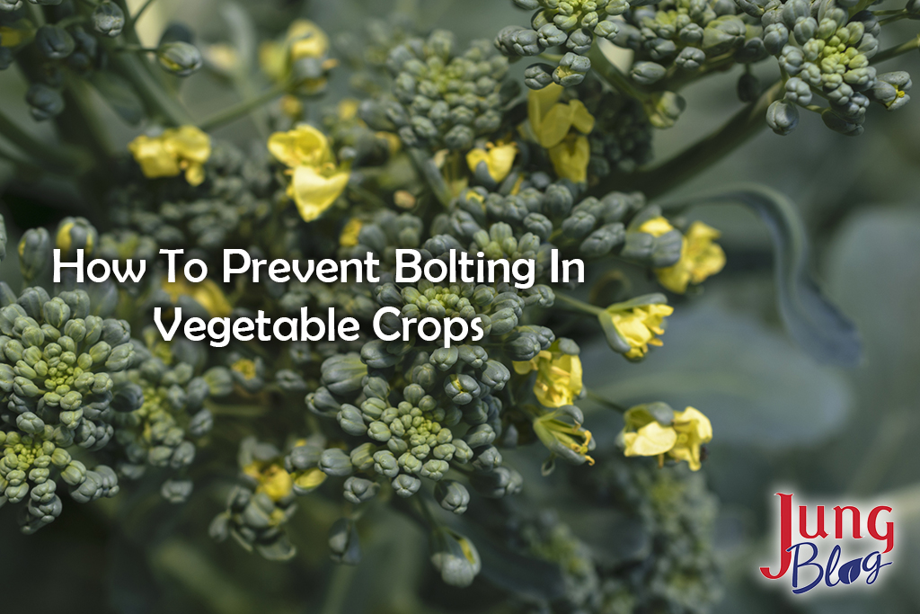 Sunny background with autumn flowering green broccoli.