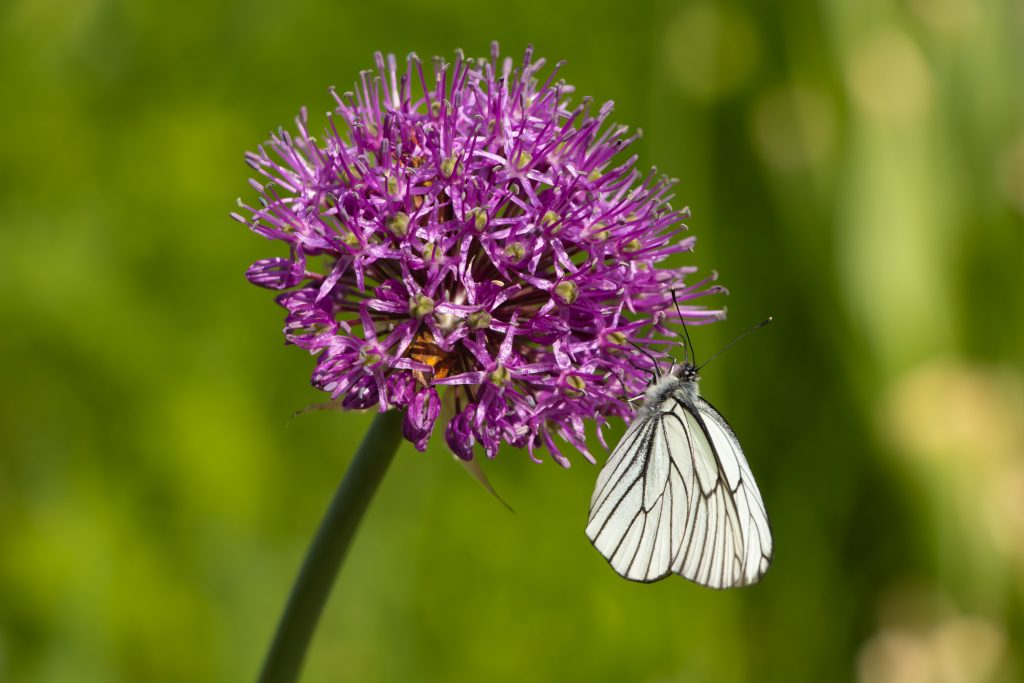 Cabbage butterfly (Pieris brassicae) pollinates the flower of the Allium giganteum. A large round purple flower blossomed on a green blurry background.