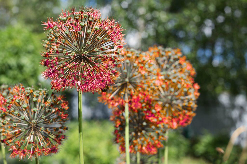 Allium red in the garden. Close-up, selective focus