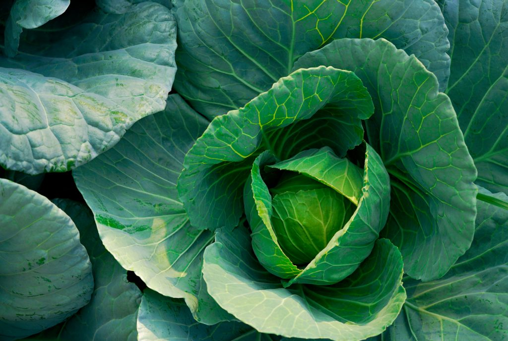 Cabbage (Brassica oleracea) in vegetable garden. Leafy green vegetable. Rich source of vitamin c and vitamin k. Fresh headed cabbage. Organic cabbage vegetable farm. Plant cultivation. Agriculture.