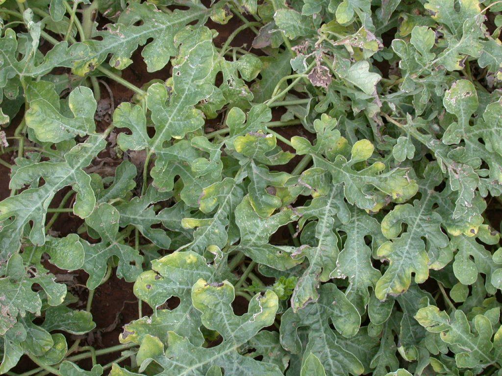 Verticillium wilt on watermelon