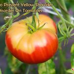 Red tomato with yellow top, diseased vegetable.