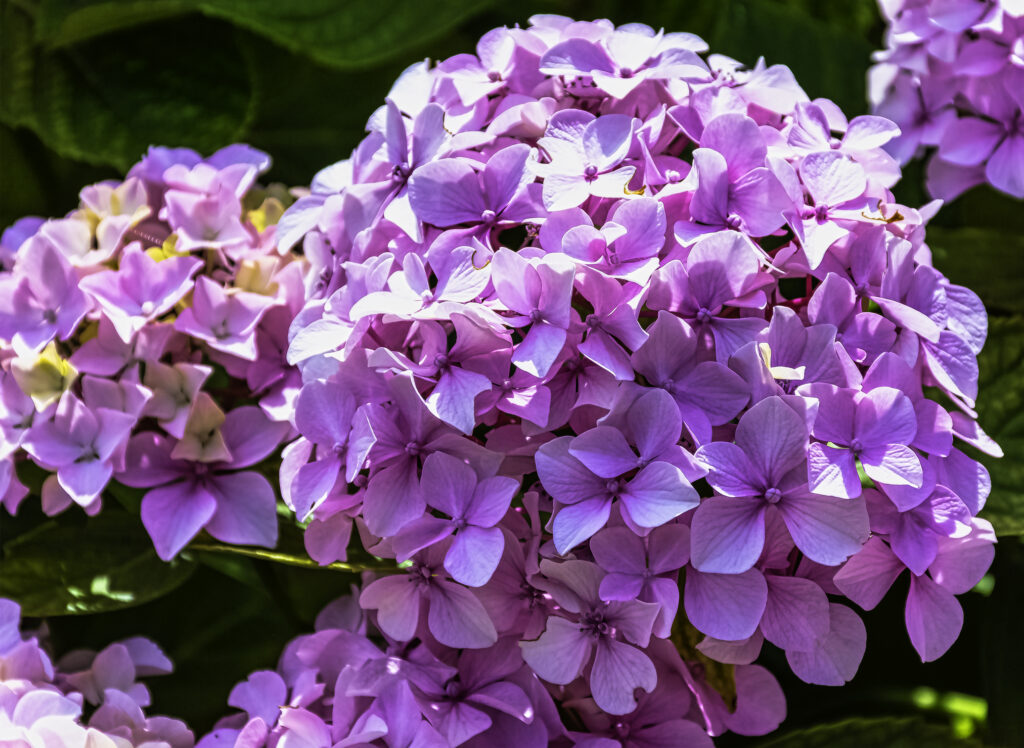 Hydrangea macrophylla known as bigleaf, French or mophead hydrangea, penny mac and hortensia is a shrub native to Japan
