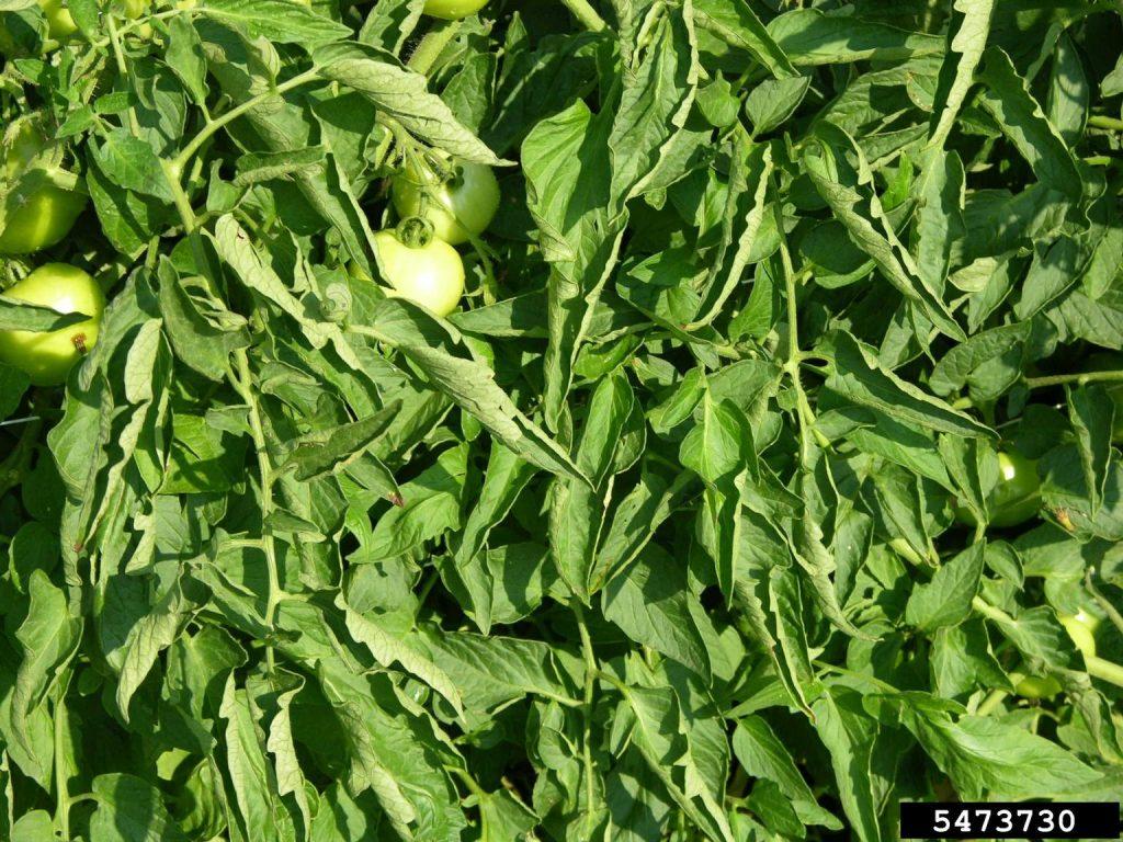 Tomato Leaf Roll disease