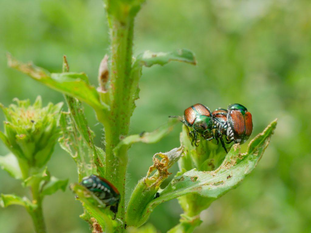 Group of Japanese Beetles