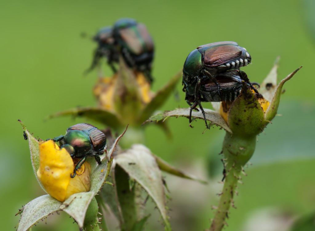 Large number of Japanese beetles breeding and destroying a rose bush.