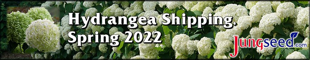 Hydrangeas Available Spring 2022