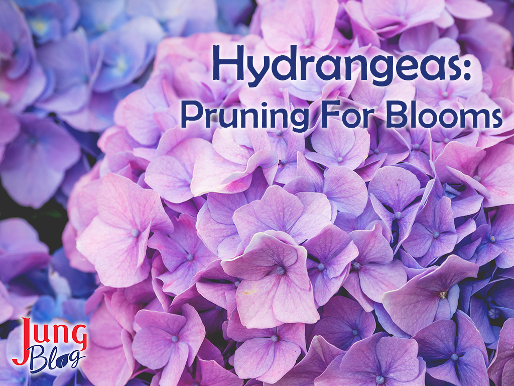 Hydrangeas: Pruning For Blooms