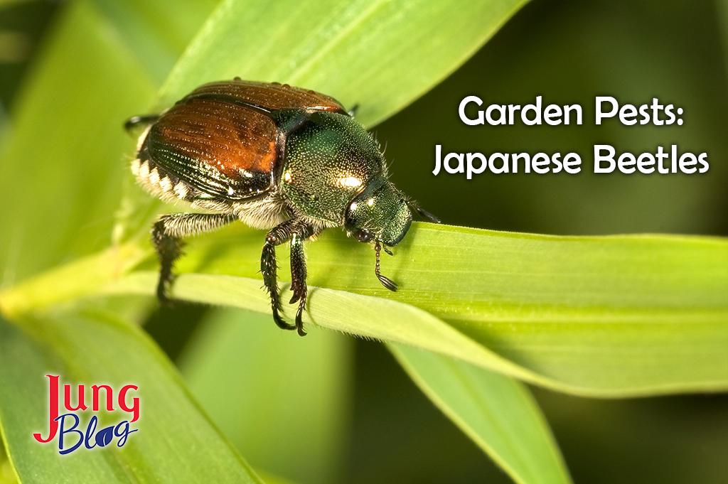 Garden Pests: Japanese Beetles