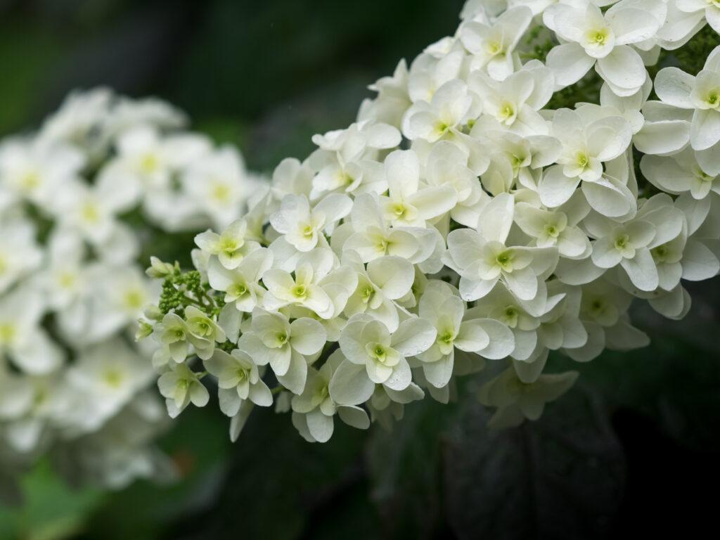 Beautiful Oakleaf hydrangea blooming in rainy season