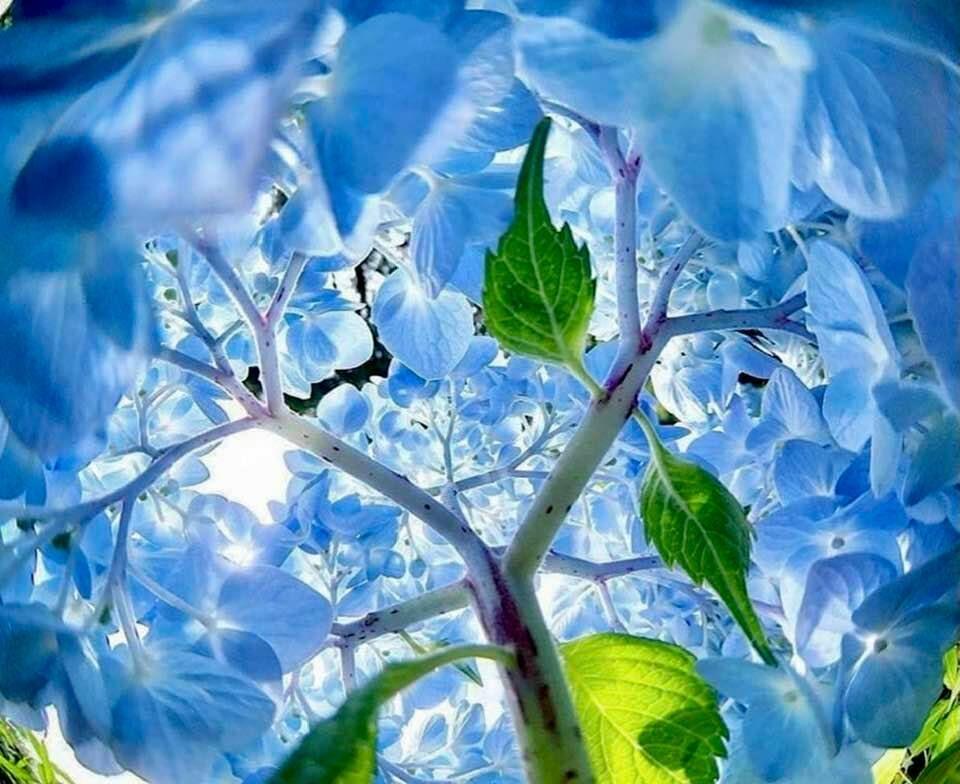Inside a hydrangea