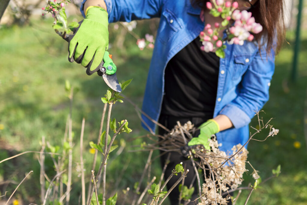 Spring work in garden with plants. Woman gardener in gloves with pruning shears cuts dry branches on bush of hydrangea