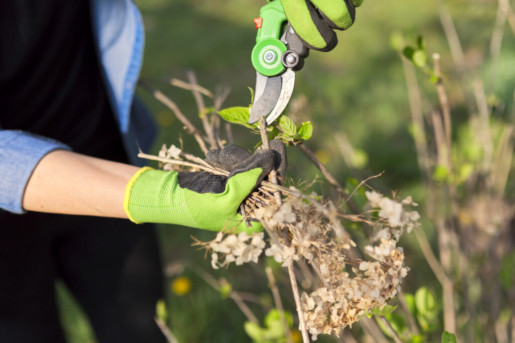 Gardener in gloves with garden shears cuts dry branches on spring hydrangea bush