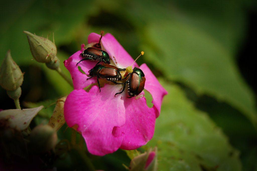 japanese beetles devouring a rose