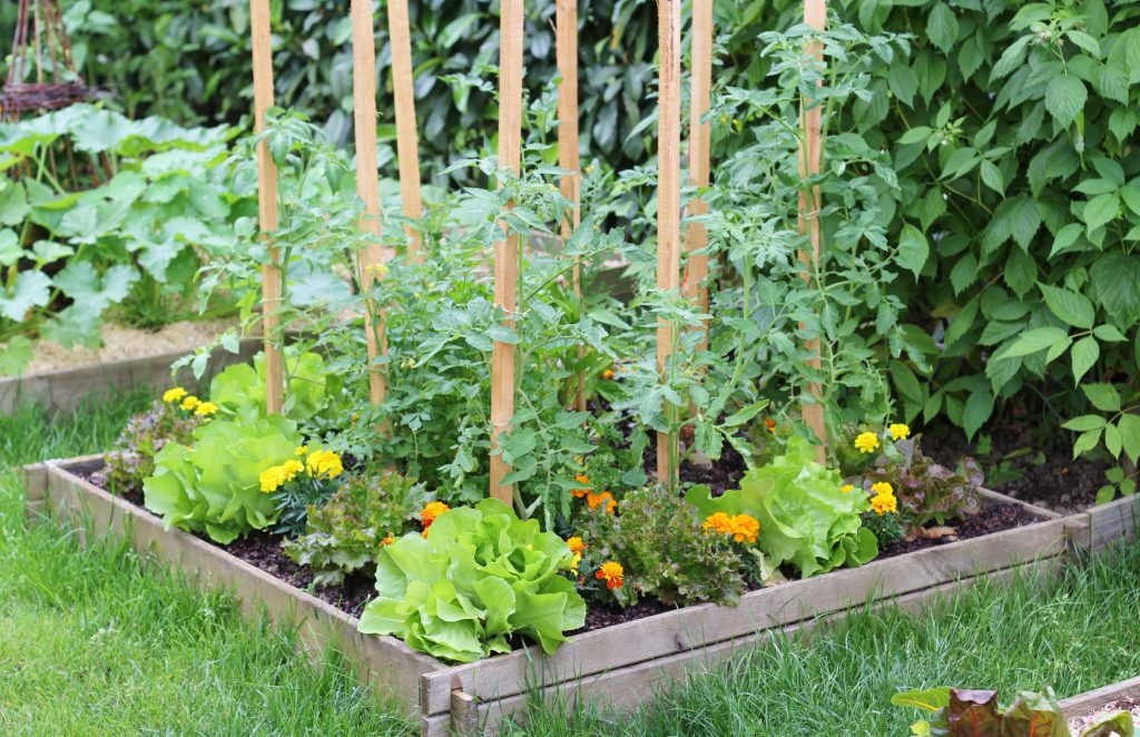Salad plantation in a square garden at sprinftime, and some tomato plantation and flowers.