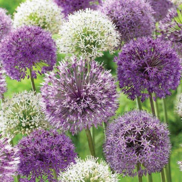 Purple and white allium