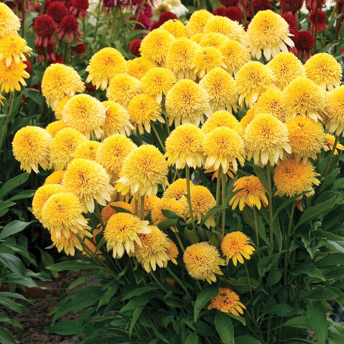 Fuzzy yellow echinacea