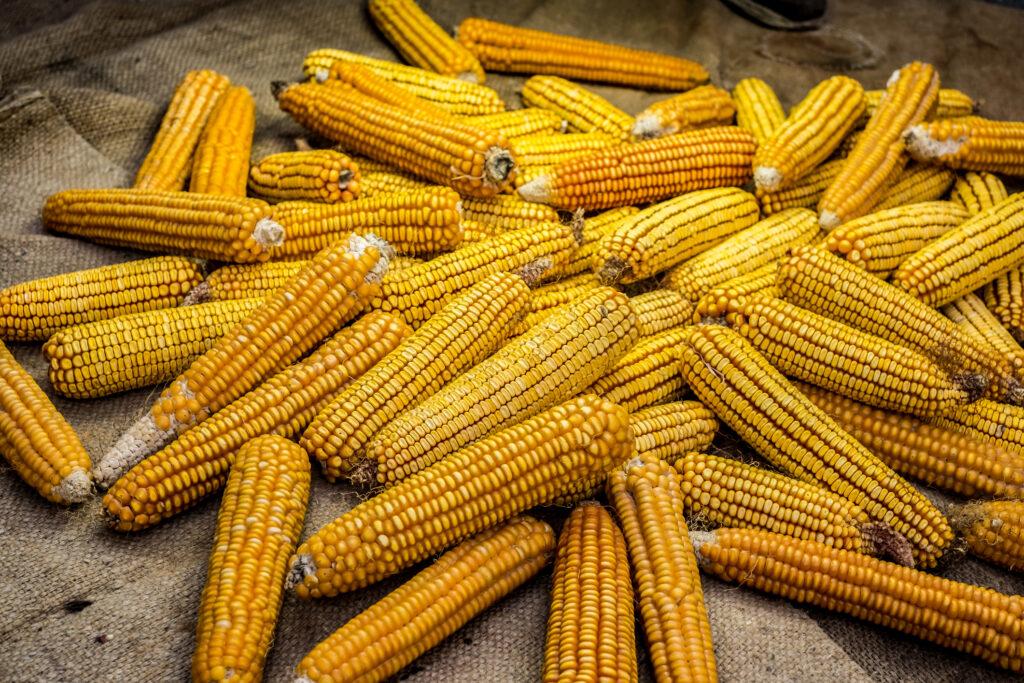 Dried corn on jute sack