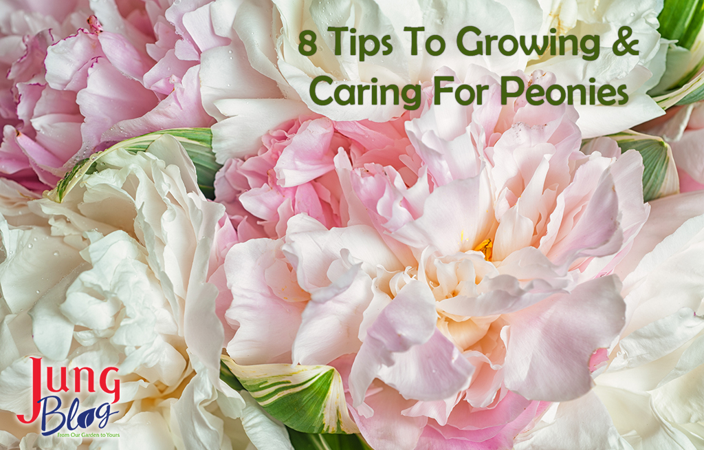 8 Tips To Growing & Caring For Peonies