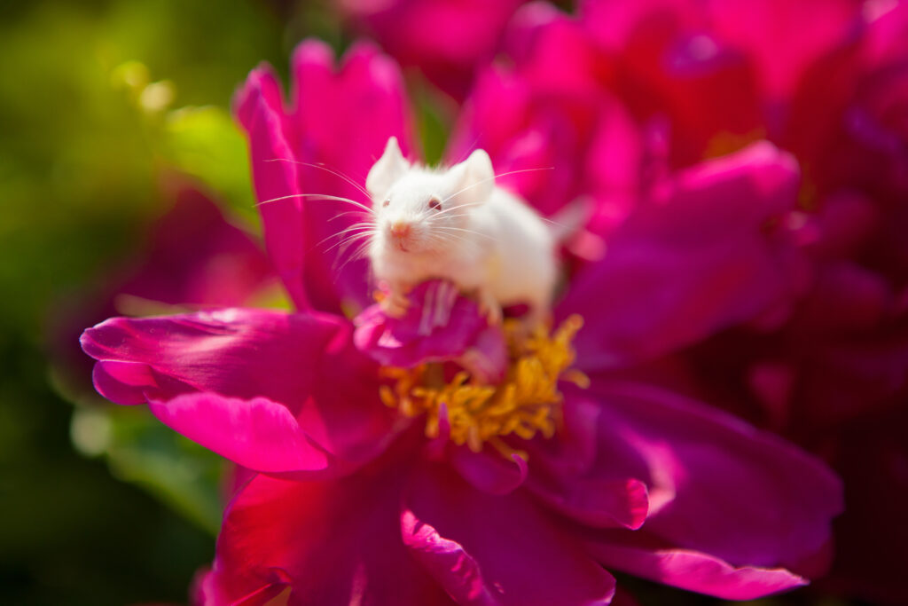 White mouse sitting on a pink peony flower in the garden