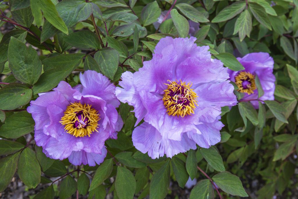 Three fully open purple peony flowers amidst their deep green foliage