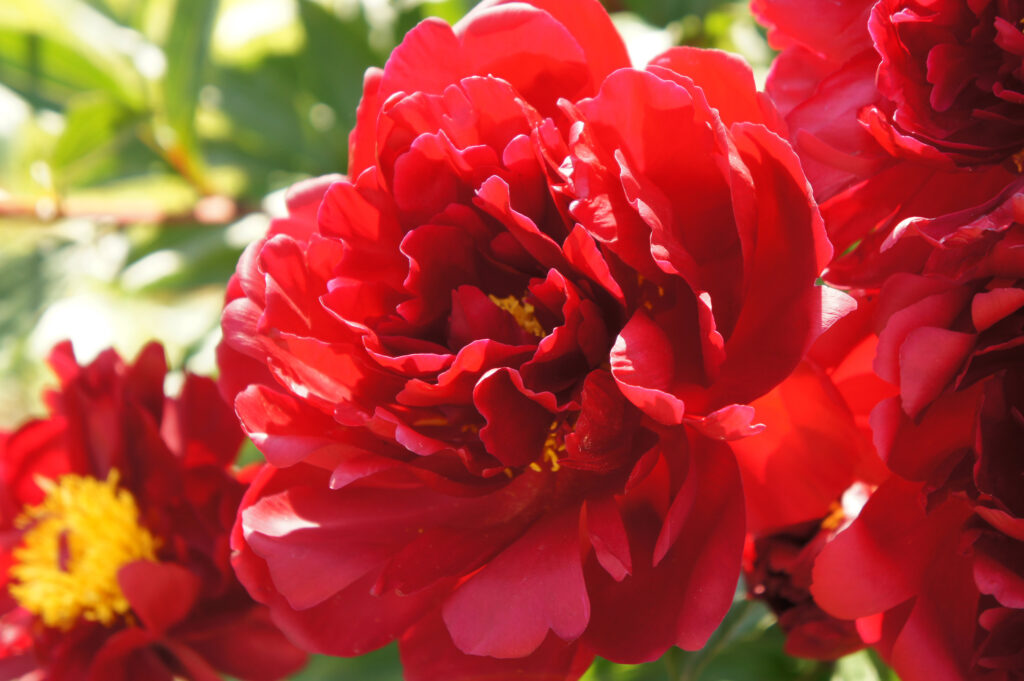 Gorgeous red peony flowers close up