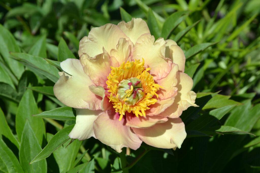 Pastel Splendour peony macro, close-up, ito hybrid