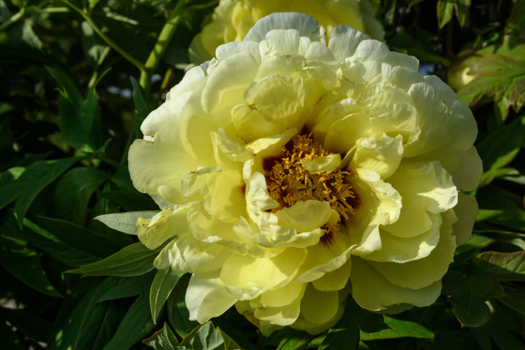 large vivid yellow peony flower bloom in a garden in a sunny summer day