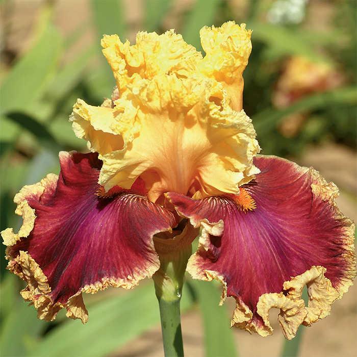Decadence German Bearded Iris