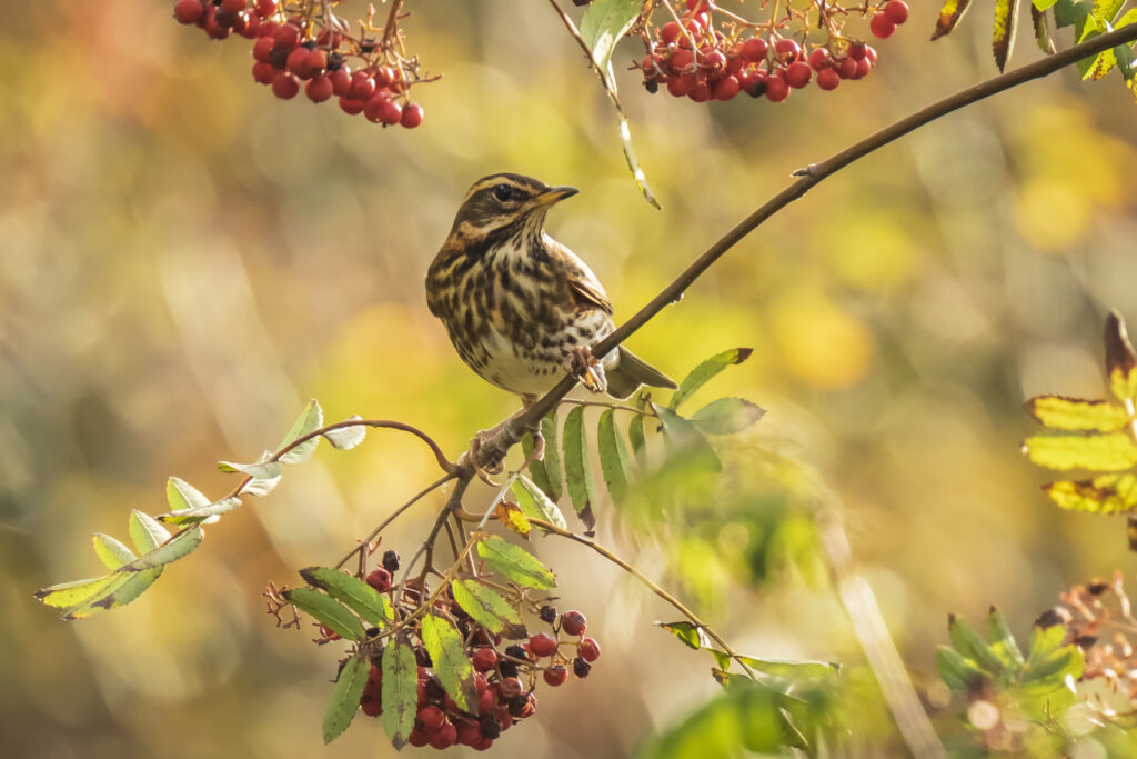 Redwing Turdus iliacus bird, eating berries in a forest