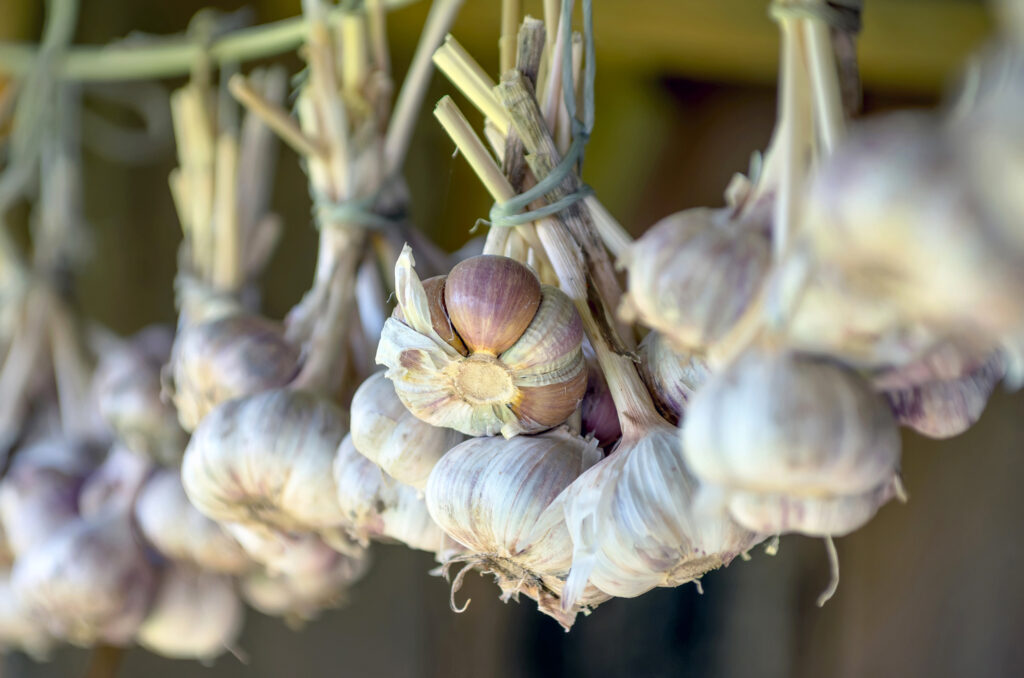 Hanging garlic on drying