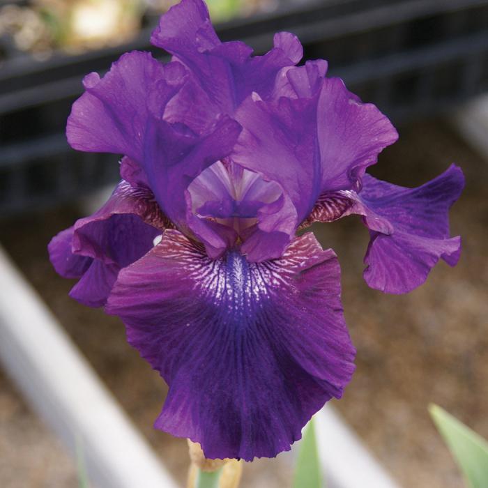 Rosalie Figge Reblooming Iris