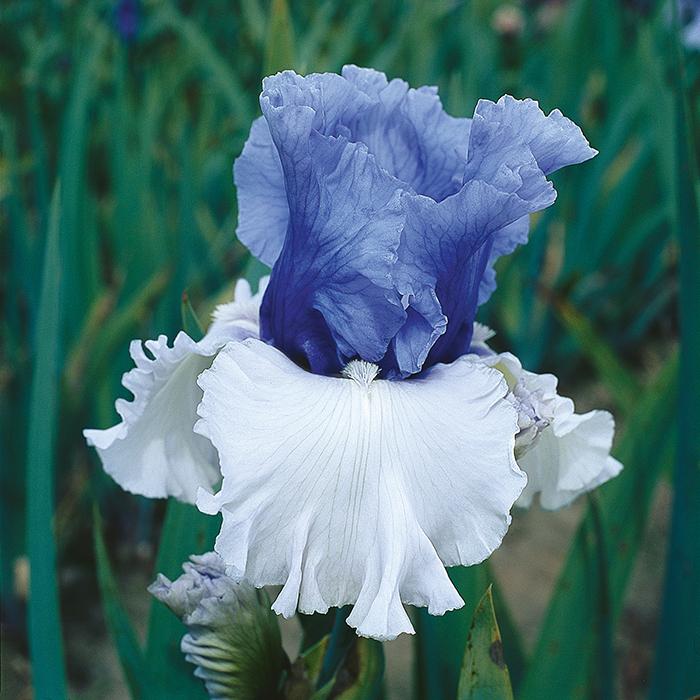 Wintry Sky Iris