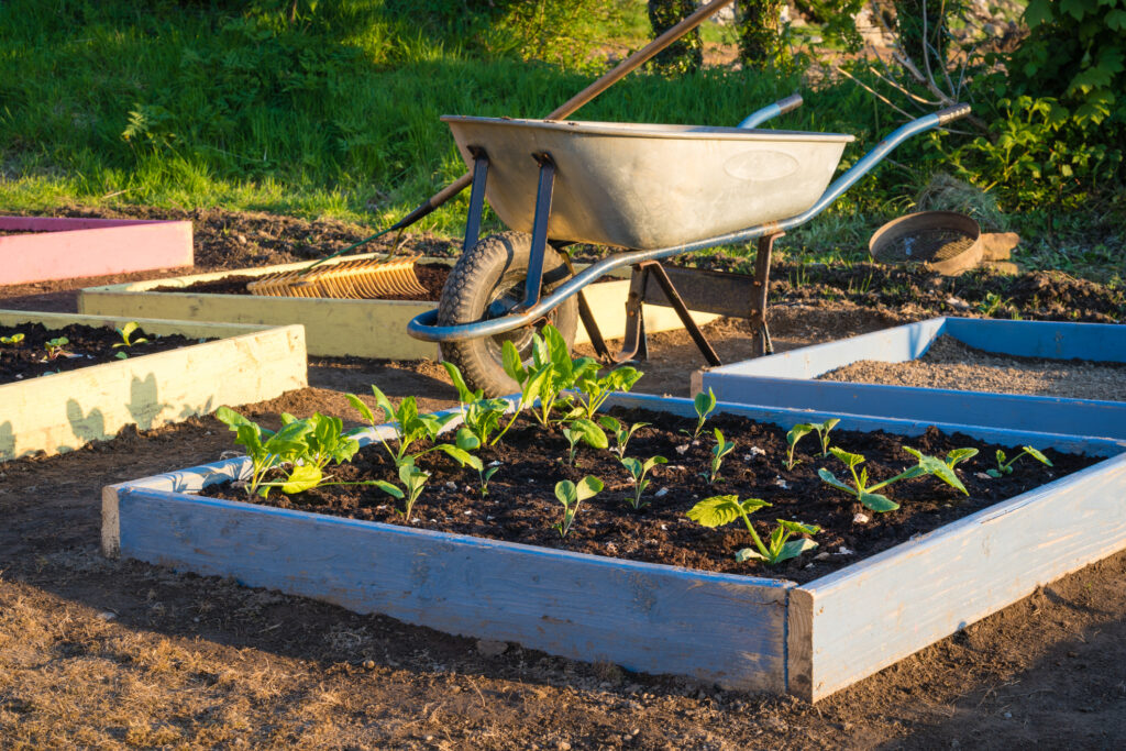 Working in vegetable garden allotment at home in spring planting yound lettuce and vegetables