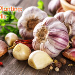 Closeup of Garlic bulbs on wooden table with garlics blur background.A set of fresh garlic on the chest wooden background.