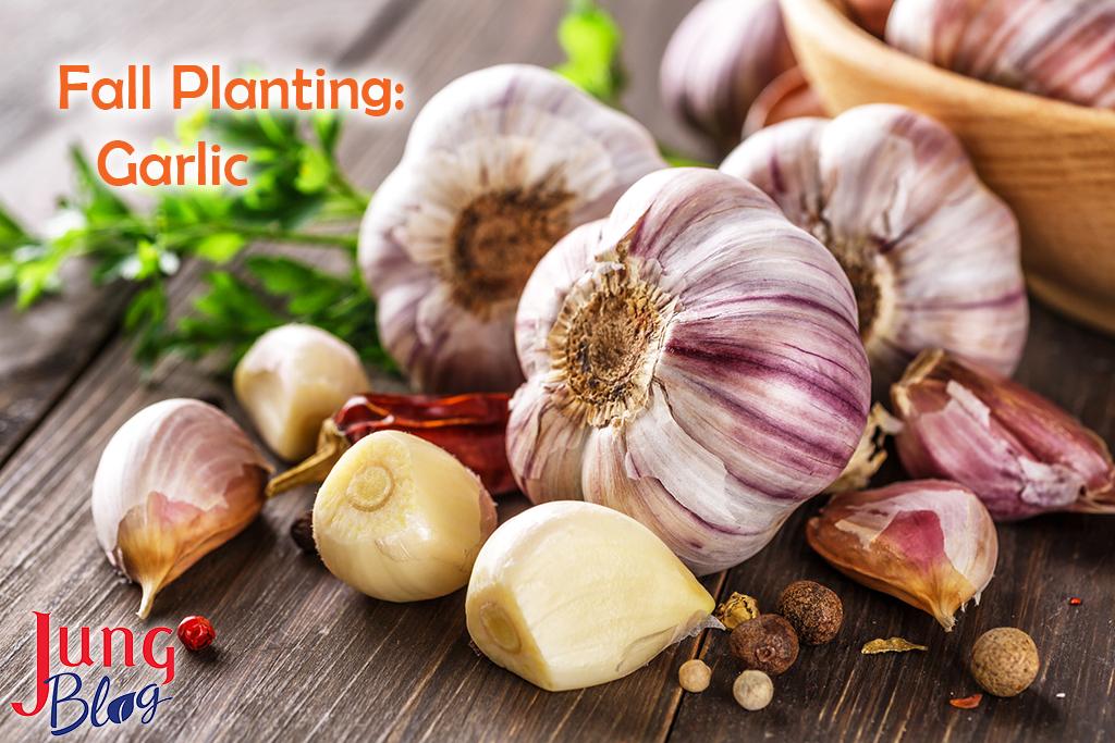 Fall Planting: Garlic