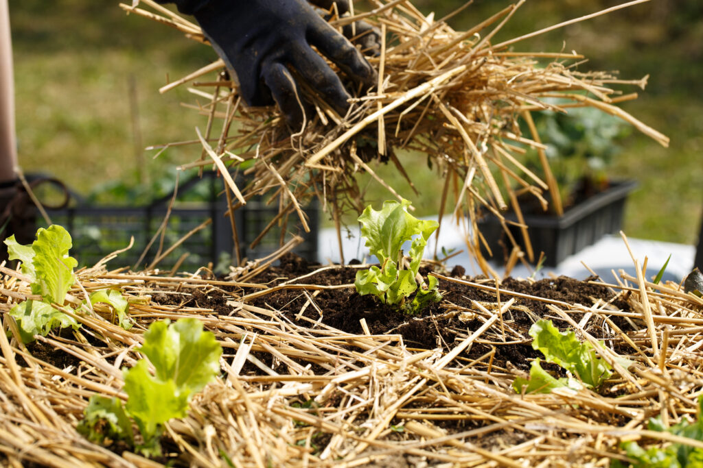 Gardener planting seedlings in freshly ploughed garden beds and spreading straw mulch.
