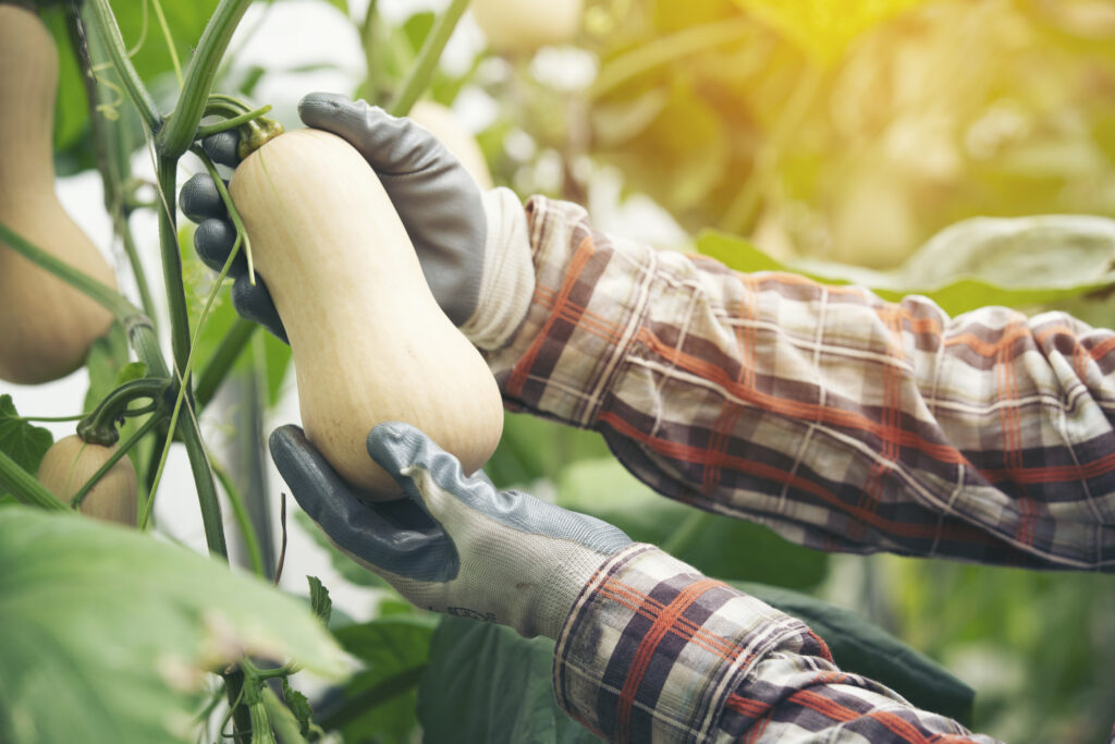 Harvesting a Butternut Squash off the vine